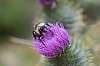 Bee & Thistle.