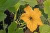 Squash Blossom.