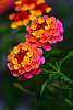 Lantana, Bright and Colorful.