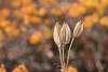 Dry Seed Pod.