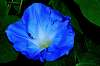 One Of Our Morning Glories Taken Early Evening.