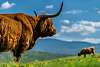 another photo on the theme of the Highland's cows
