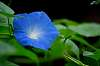 Beautiful Blue Morning Glory.