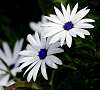 White Daisies in the