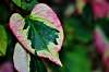 Multi-Colored Chameleon Leaf.