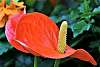 A lovely Anthurium Plant Flower.