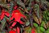 A Budding Begonia.