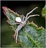 A tiny Crab Spider