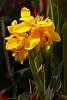 A Canna Lily, I believe.