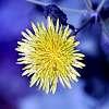 Milk Weed Flower