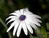 A White Daisy..
