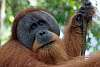 Orangutans and one flying lizard in Sumatra