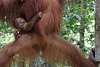 For Orangutan Lovers - More Pics of Orangs Plus Some Forest Friends