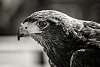 Up close with Harris's hawk..