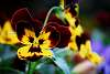 Very Pretty Pansy Flower.