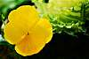 Very beautiful Yellow Pansy.