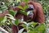 More Orangutans - Borneo