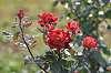 October roses still alive