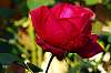 Another Lovely Red Rose.