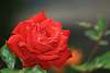 Red Rose Brought To You by, Canon.