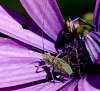 A small Green Bush Cricket