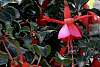 Fuchsia surrounded by green.