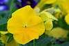 A very pretty yellowish, goldish flower.
