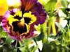 An awesome Pansy