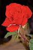 Really beautiful red rose.