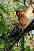 Female Proboscis Monkey in Borneo