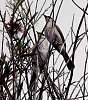 Two Honeyeaters