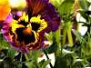 Awesome Looking Pansy