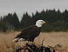 My SECOND Bald Eagle!