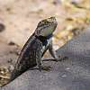 Unimpressed lizard is unimpressed