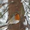 Robin. Simply robin.