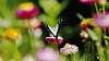Macleay Swallowtail