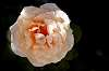 A pale Orange Rose