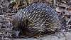 Echidna looking for ants