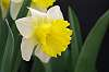 A Very Awesome Daffodil.