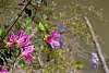 Azalea Blossoms are the Epitome of Springtime in our region