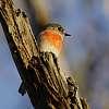 Female Scarlet Robin
