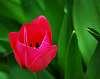 Small,Red Tulip.