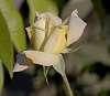Beautiful Pastel Rose