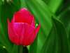 Another Small,Red, Tulip.