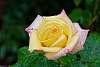 """Peace"" Hybrid Tea Rose after a rain"