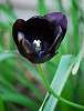 My Favorite: Black Cherry Tulip. :)