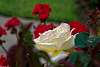 Rose and Geraniums