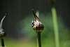Emerging Agapanthus Blossom