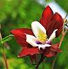 Another Awesome Crimson Columbine.