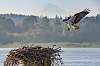 Osprey bringing fish to the nest